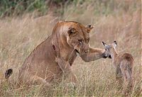 TopRq.com search results: wounded lioness adopts baby antelope after killing its mother