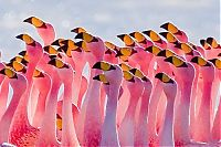 TopRq.com search results: Pink blanket of flamingos, Rift Valley lakes, Nakuru Lake National Park, Kenya