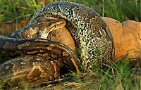 TopRq.com search results: african rock python kills and swallows a large prey