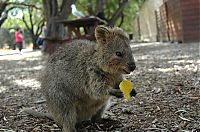 TopRq.com search results: quokka, cute smiling animal