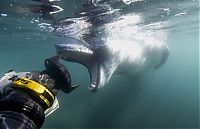 TopRq.com search results: Leopard seal eats a penguin, Antarctic Peninsula, Weddell Sea, Southern Ocean