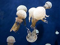 TopRq.com search results: jellyfish