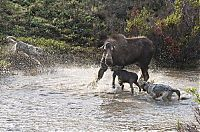 TopRq.com search results: mother moose with a newborn against wolves