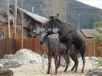 TopRq.com search results: Moose in love with a statue, Grand Lake, Colorado, United States