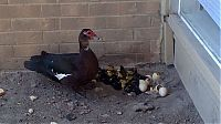 TopRq.com search results: duck laid eggs and made some ducklings