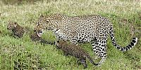 TopRq.com search results: mother leopard rescues her baby