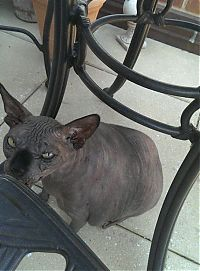 Fauna & Flora: fat sphynx cat