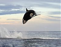 Fauna & Flora: orca and dolphin