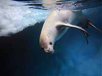 TopRq.com search results: crabeater seal