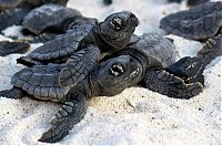 TopRq.com search results: loggerhead sea turtle hatchlings guided to the sea