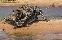 TopRq.com search results: jaguar hunts for a crocodile