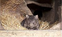 TopRq.com search results: Patrick, 27-year-old wombat