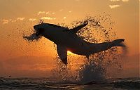 TopRq.com search results: great white shark hunting in the sunset