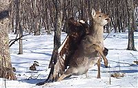 TopRq.com search results: Golden eagle hunting a sika deer, Lazovsky district, Primorsky Krai, Russia