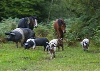 TopRq.com search results: Pannage pigs, New Forest, Hampshire, England, United Kingdom