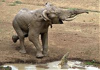 TopRq.com search results: elephant with its trunk grabbed by crocodile