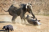 TopRq.com search results: angry elephant attacks a hippopotamus
