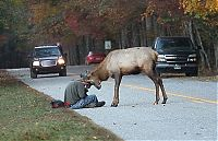 TopRq.com search results: Elk attacks a photographer, Great Smoky Mountains National Park, North Carolina, Tennessee, United States