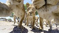 Fauna & Flora: Close lions photos by Chris McLennan, Botswana