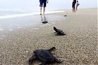 TopRq.com search results: saving baby turtles, rescue operation