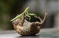 Fauna & Flora: toad tickled by a praying mantis