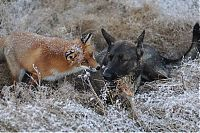 Fauna & Flora: fox with a dog