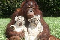 TopRq.com search results: two lion cubs with monkey