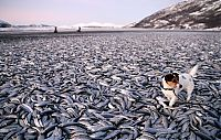 TopRq.com search results: Shoal of herring frozen after a harsh wind, Norwegian Bay, Qikiqtaaluk Region, Nunavut, Canada, Arctic ocean