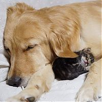 TopRq.com search results: golden retriever with a kitten