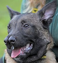 TopRq.com search results: Malinois Belgian Shepherd dog with two noses, Glasgow, Scotland
