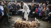 TopRq.com search results: Marius, the giraffe killed and used for lions, København Zoo, Copenhagen, Denmark