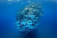 TopRq.com search results: Bigeye trevallies schooling, Cabo Pulmo National Park, Cabo San Lucas, Baja Peninsula, Mexico