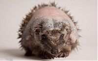 TopRq.com search results: hedgehog recovery with aloe vera therapy