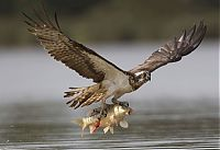 TopRq.com search results: osprey hunting for a fish
