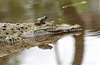 TopRq.com search results: frog and crocodile friends