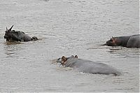TopRq.com search results: hippopotamus saves wildebeest from crocodile