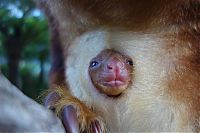 TopRq.com search results: Baby tree kangaroo Joey, Taronga Zoo, Sydney, New South Wales, Australia