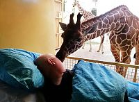 TopRq.com search results: giraffe kisses zookeeper dying of cancer