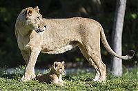 TopRq.com search results: Three-month-old lion cub K'wasi meet his mom Asha, Miami-Dade Zoological Park and Gardens, Miami, Florida, United States