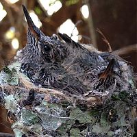 TopRq.com search results: baby hummingbirds in the nest