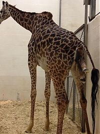 TopRq.com search results: first moments of a baby giraffe
