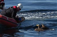 TopRq.com search results: saving an eagle from drowning