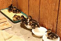 TopRq.com search results: baby ducklings rescue
