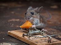 TopRq.com search results: mouse against a mousetrap