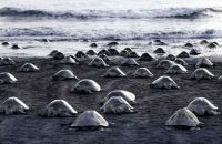 TopRq.com search results: arribadas, pacific olive ridley sea turtles synchronised nesting