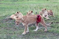 TopRq.com search results: saving a wounded lioness