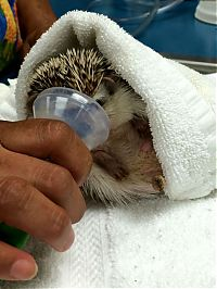 TopRq.com search results: hedgehog with anaesthesia