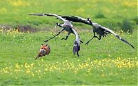 TopRq.com search results: birds defending their young against a fox