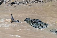 TopRq.com search results: crocodile against a shark