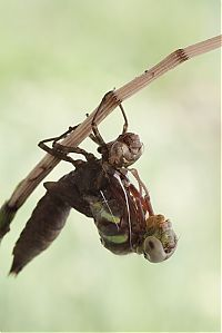 TopRq.com search results: birth of a dragonfly